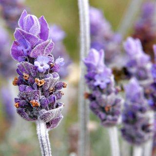 10 Alasan Mengapa Banyak Orang Mencintai Lavender